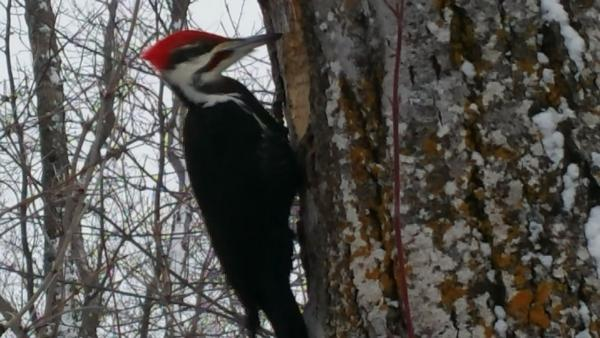 Big Pilaeted Woodpecker