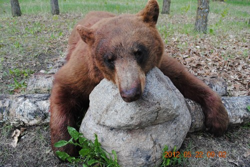 Spring bear hunting Starting in May