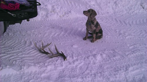 Antler Shed retriever training
