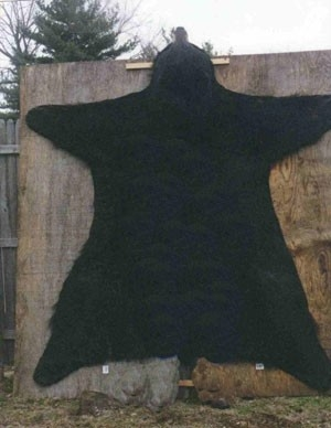 World Record Black Bear Manitoba Canada
